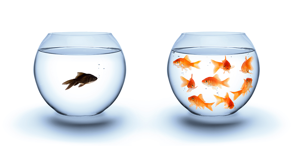 Goldfish in one bowl, dark beta fish in another bowl